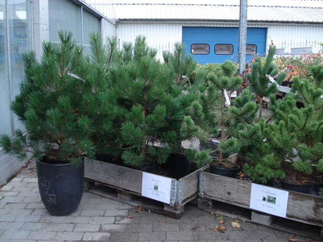 Grantræer - Audebo Havecenter